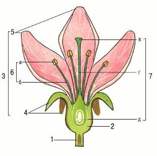 Обобщённая схема строения цветка: 1 - цветоножка; 2 - цветоложе; 3 - околоцветник; 4 - чашелистики; 5 - лепестки; 6...