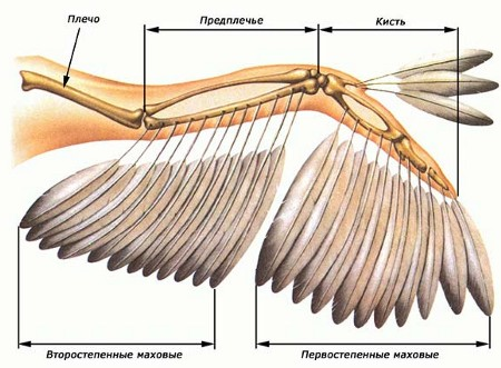 Перья расположенные на крыле птиц