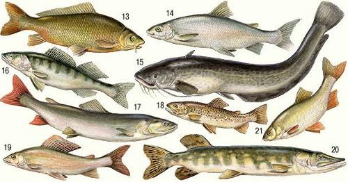 Рыбы пресных вод россии 13 — сазан 14