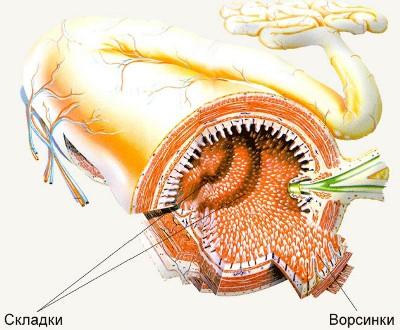 Тонкая кишка имеет длину 5-6 м